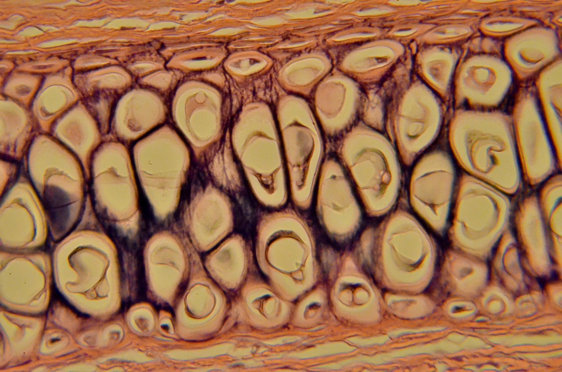 Cartilage Tissue Master